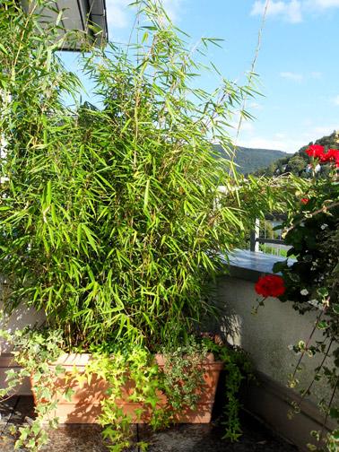 bambus-als-sichtschutz2
