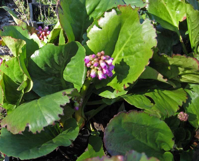 bergenia cordifolia riesensteinbrech stauden pflanzen. Black Bedroom Furniture Sets. Home Design Ideas