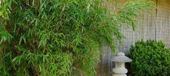bambus pflanzen winterhart jetzt im angebot bambus und. Black Bedroom Furniture Sets. Home Design Ideas