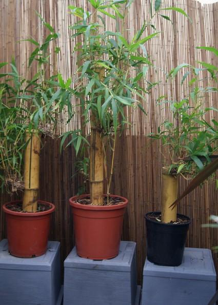 bambusa vulgaris zimmerbambus wohnung und wintergarten bambuswald bambus und pflanzen. Black Bedroom Furniture Sets. Home Design Ideas