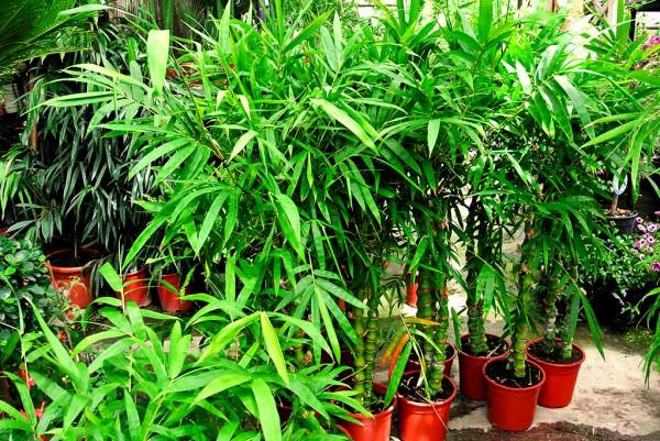 Buddhabauch Bambus, Bambusa vulgaris Wamin
