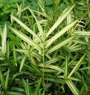 Zwergbambus Pleioblastus shibuyanus 'Tsuboi'