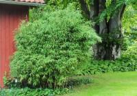 Pandabambus, Fargesia murielae 'Panda'