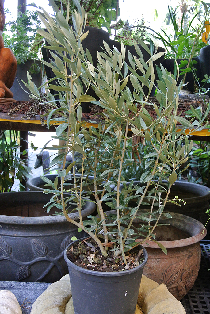 kleiner olivenbaum strauch bambus und pflanzenshop. Black Bedroom Furniture Sets. Home Design Ideas
