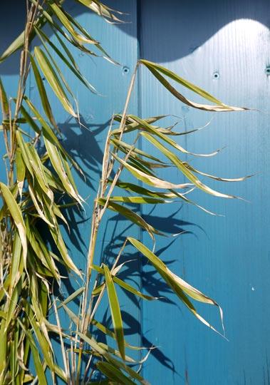 fargesia-robusta-winter-blaetter-gerollt50f2bab8ecf5d