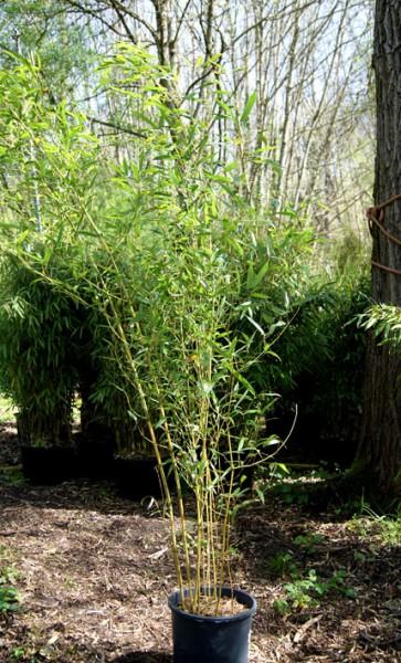 phyllostachys bissetii gr ner bambus mittelhoher bambus. Black Bedroom Furniture Sets. Home Design Ideas