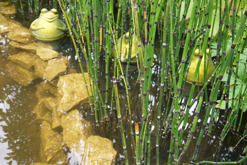 equisetum-hyemale-var-robustum-riesenschachtelhalm-p1050330