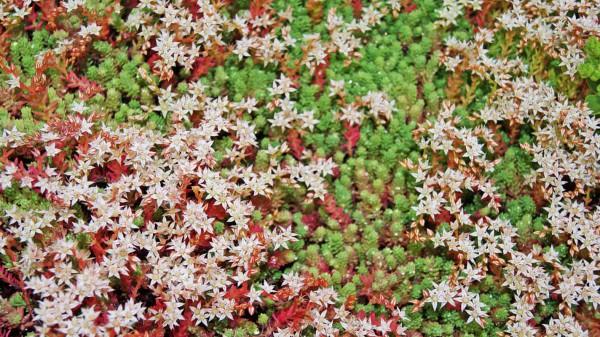 Spanischer Mauerpfeffer, Sedum hispanicum