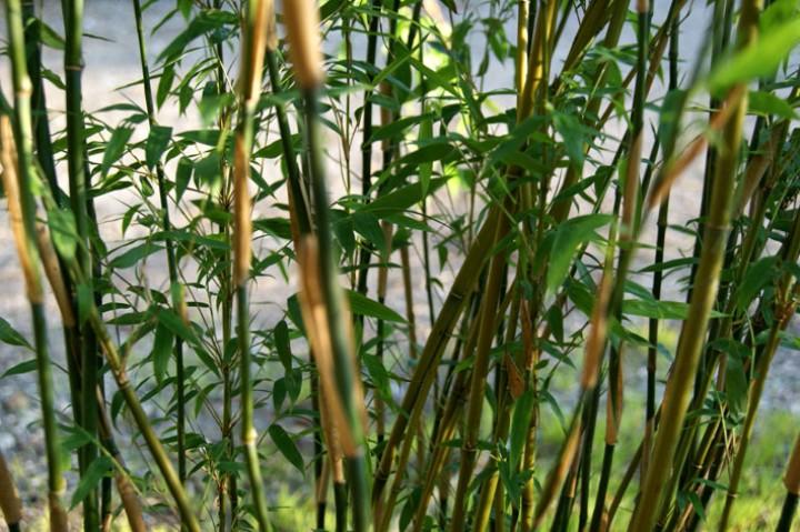 fargesia denudata 39 lancaster 39 panda bambus bambus ohne. Black Bedroom Furniture Sets. Home Design Ideas