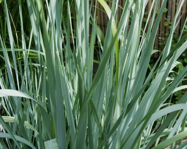 Elymus magellanicus, Magellan-Blaugras