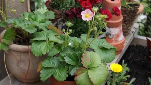 Immertragende Hänge-Erdbeere, Fragaria x ananassa