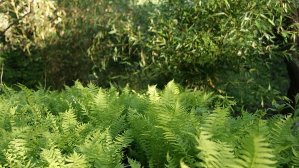Polystichum setiferum, Filigranfarn