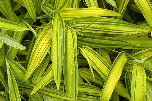 Zwergbambus Pleioblastus viridistriatus auricoma