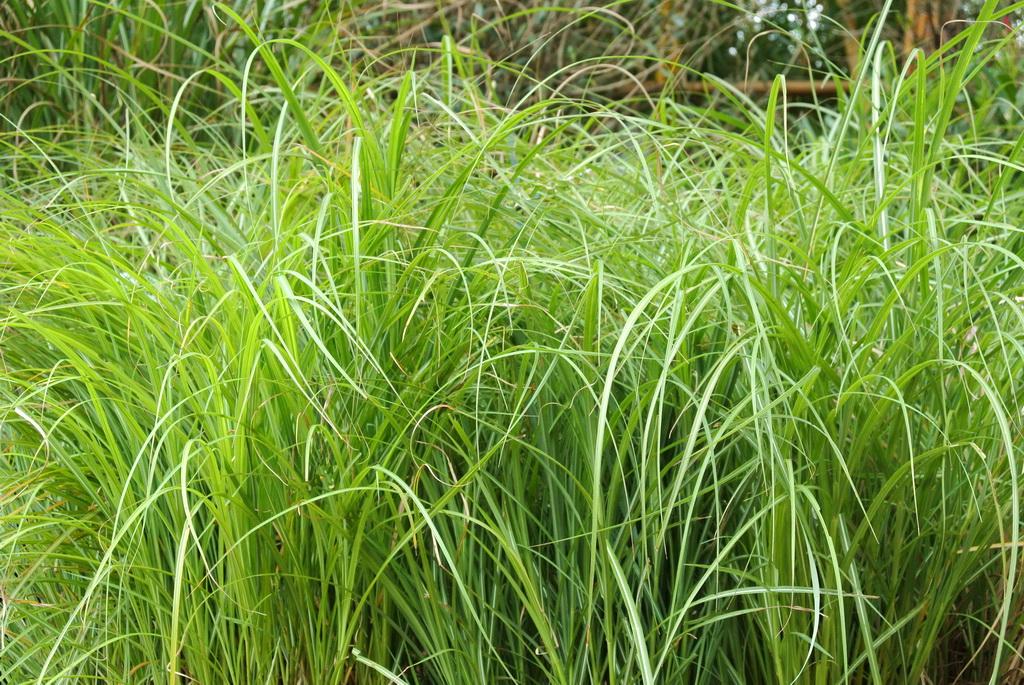 zwerg chinaschilf miscanthus sinensis adagio bambus. Black Bedroom Furniture Sets. Home Design Ideas