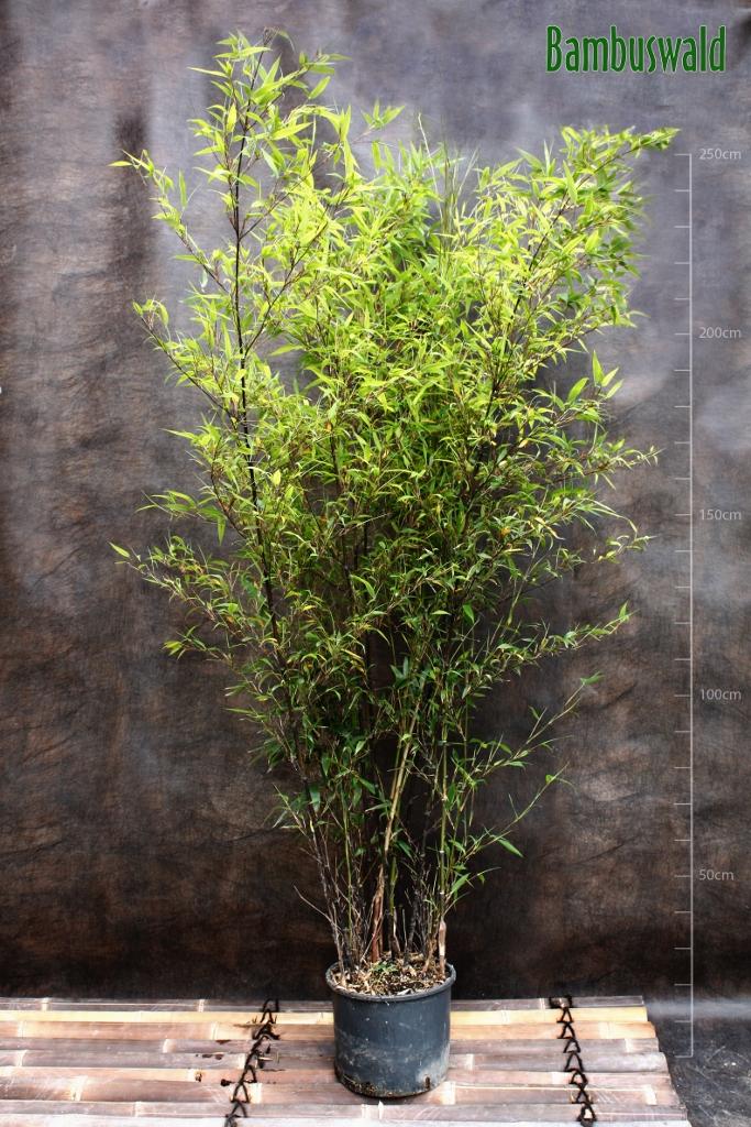phyllostachys nigra schwarzer bambus bambus und. Black Bedroom Furniture Sets. Home Design Ideas