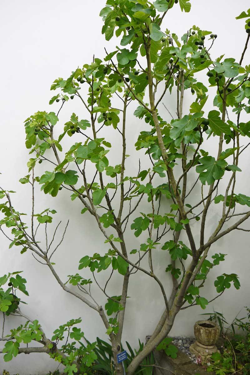 ficus carica feigenbaum mediterrane pflanzen. Black Bedroom Furniture Sets. Home Design Ideas