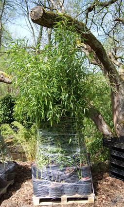 Wann Ist Pflanzzeit Fur Bambus Bambus Pflege Bambus Und