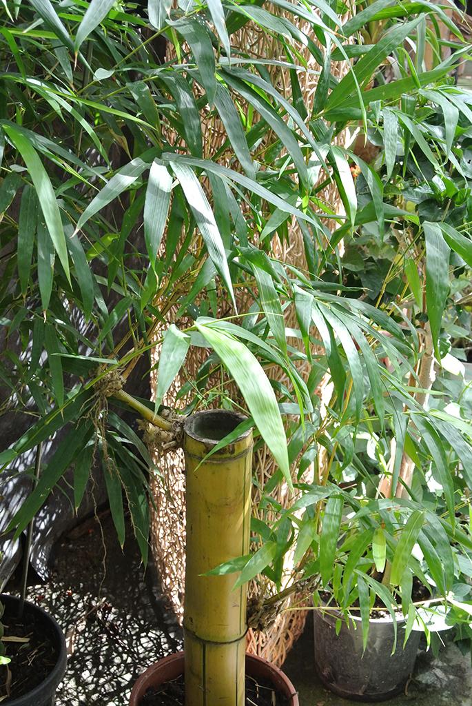 Super Zimmerbambus Bambusa vulgaris | Bambus und Pflanzenshop @HO_24