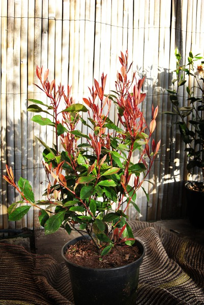 Photinia 'Glanzmispel'