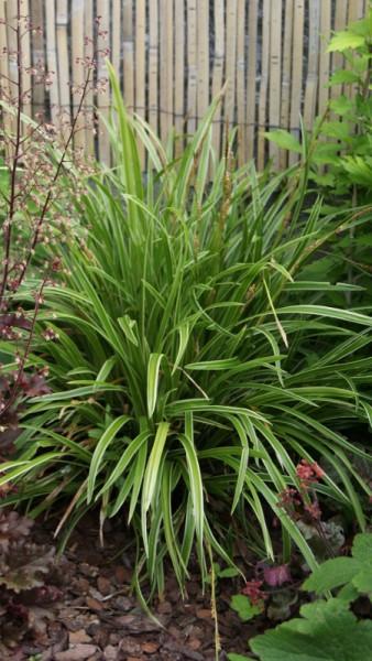 Weißbunte Japan Segge 'Variegata', Carex morrowii 'Variegata'
