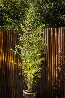 Koi Goldrohr Bambus , Phyllostachys aurea 'Koi'