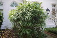 Pseudosasa japonica, Pfeil Bambus