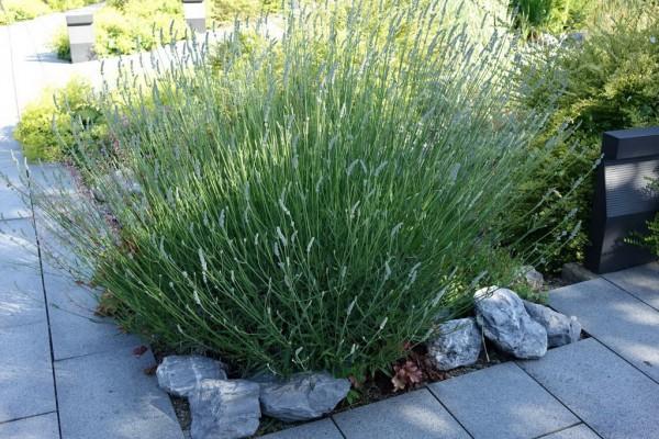 lavendula angustifolia echter lavendel mediterrane. Black Bedroom Furniture Sets. Home Design Ideas