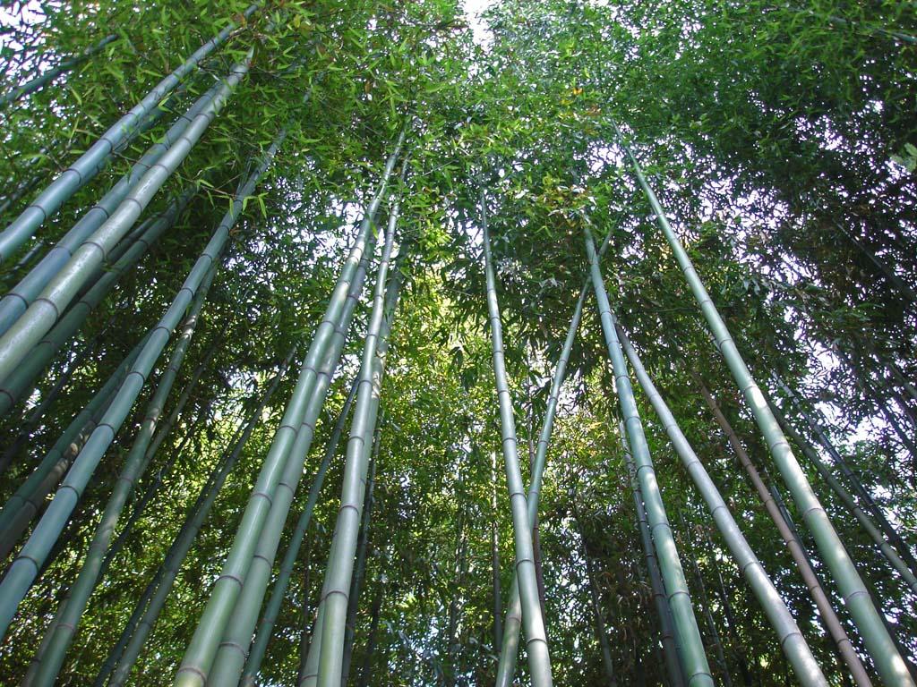 welche unterschiedlichen bambushalme gibt es bambus wissen was ist bambus bambuswald. Black Bedroom Furniture Sets. Home Design Ideas