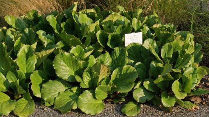 bergenia cordifolia riesensteinbrech schatten pflanzen. Black Bedroom Furniture Sets. Home Design Ideas