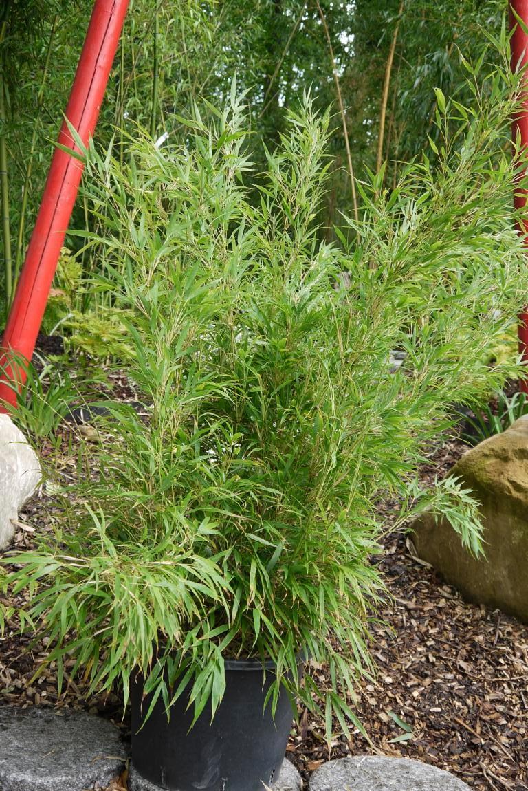 Zimmerbambus Wohnung Und Wintergarten Bambuswald De Bambus