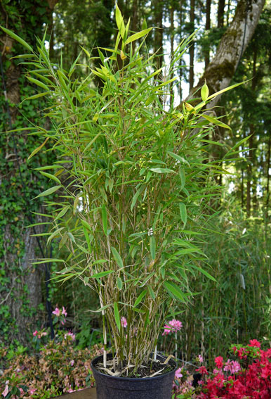 Bambustrnds