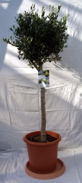 olivenbaum mediterrane pflanzen bambuswald bambus und pflanzen f r haus und garten. Black Bedroom Furniture Sets. Home Design Ideas