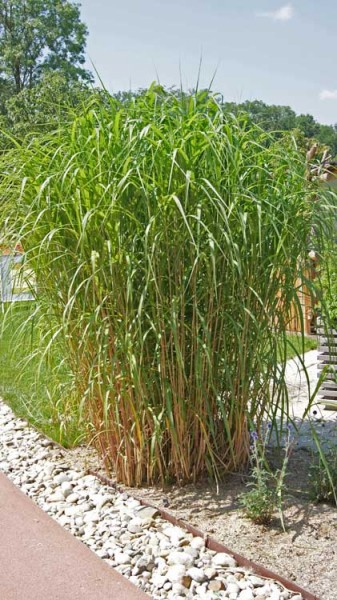 miscanthus giganteus elefantengras gr ser pflanzen bambuswald bambus und pflanzen f r. Black Bedroom Furniture Sets. Home Design Ideas