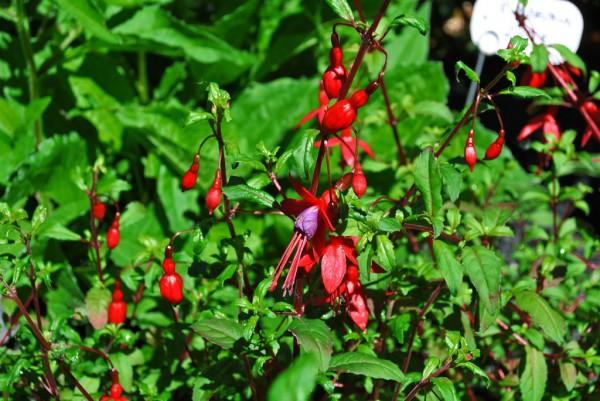 Scharlach Fuchsie, Fuchsia magellanica riccartonii