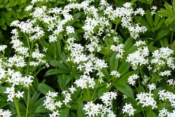 Waldmeister, Galium odoratum