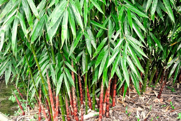 Fargesia robusta 'Wolong'