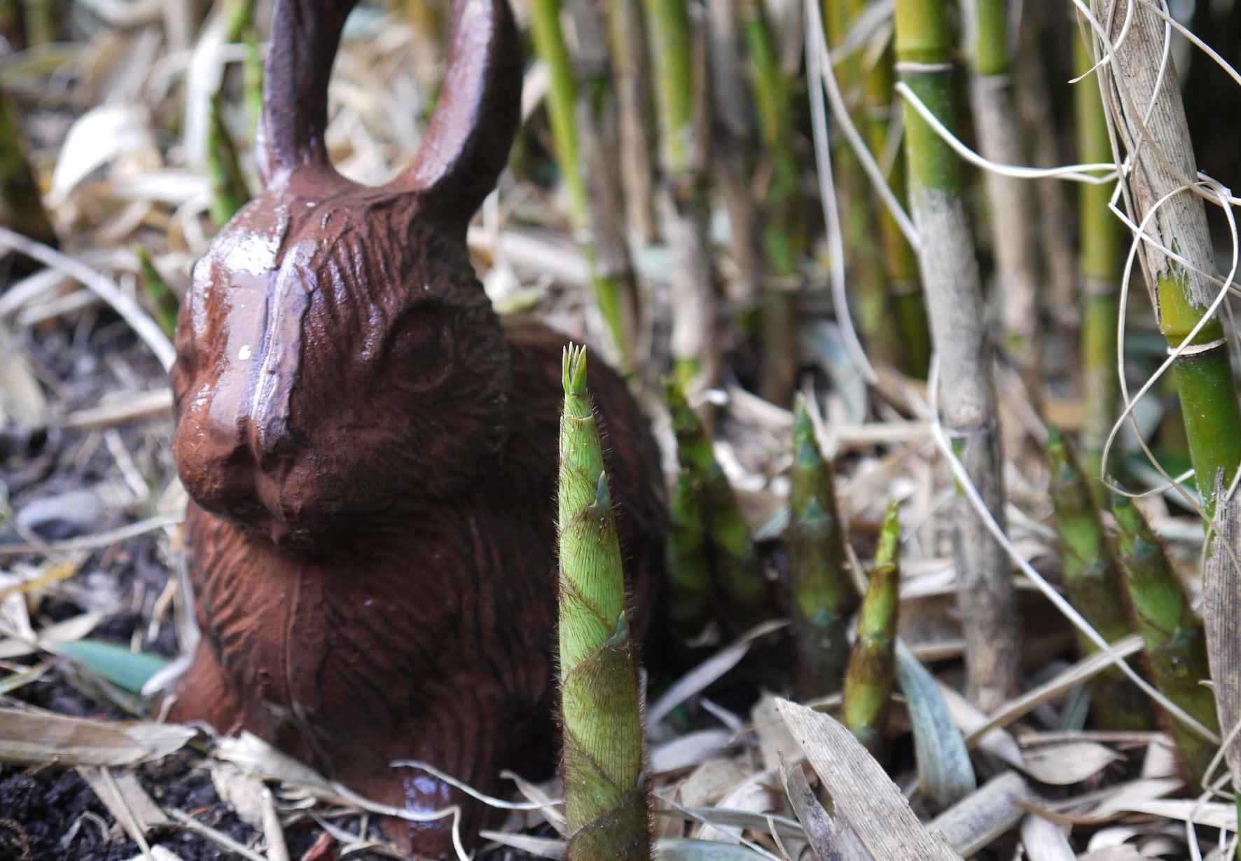 fargesia-robusta-treibt-aus-bambuswald-2012