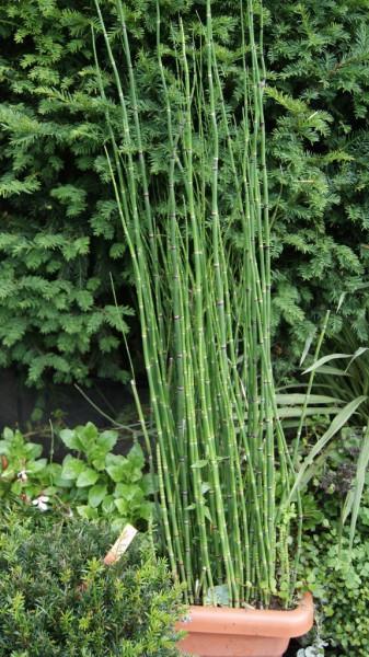 equisetum hyemale var robustum riesenschachtelhalm teichpflanzen wasser pflanzen. Black Bedroom Furniture Sets. Home Design Ideas