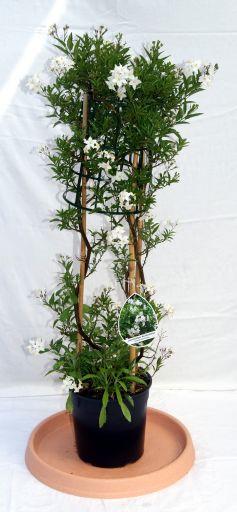 solanum jasminoides wei es solanum mediterrane pflanzen garten pflanzen bambuswald. Black Bedroom Furniture Sets. Home Design Ideas