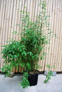 Black Cherry Bambus, Fargesia spez. 'Jiuzhaigou 4'