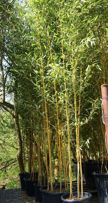 phyllostachys aureosulcata 39 spectabilis 39 mittelhoher bambus bambus pflanzen bambuswald. Black Bedroom Furniture Sets. Home Design Ideas