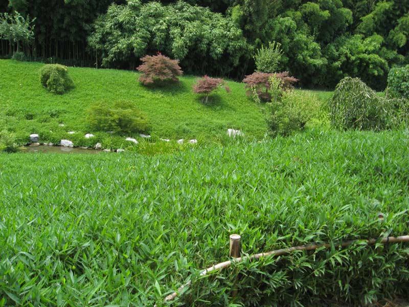 zwergbambus pleioblastus pumilus sasa pumila bambus. Black Bedroom Furniture Sets. Home Design Ideas