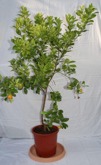 Citrofortunella mitis, Calamondin