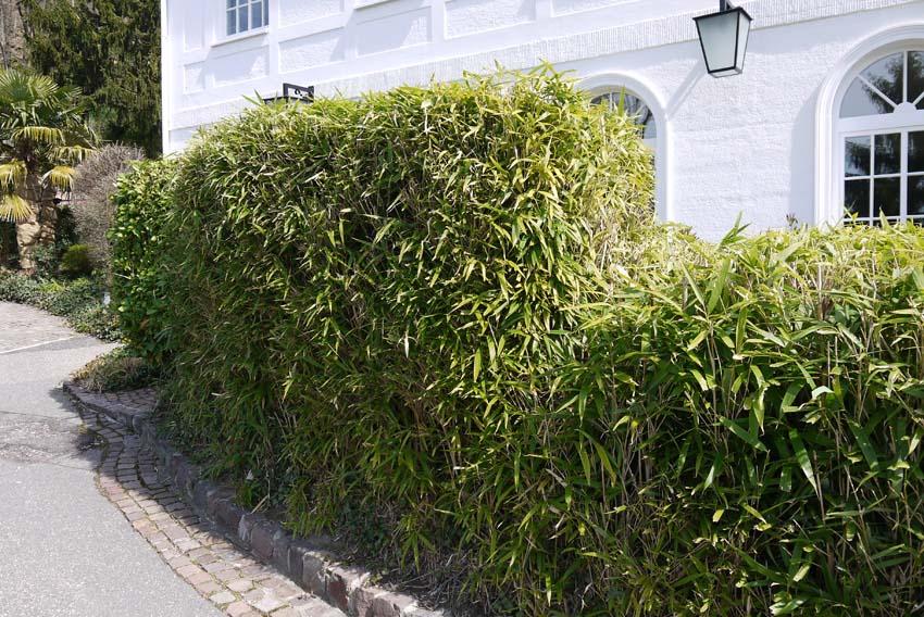 pseudosasa-japonica-hecke-bambuswald125175ab1166a58