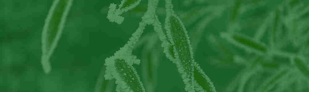 Bambus Kaufen Bambuspflanzen Als Sichtschutz Bambus Und Pflanzenshop
