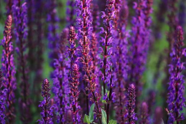 Blüten-Salbei - Salvia Nemorosa