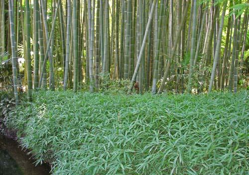 la-bambuserei-hoher-bambus-2005-02-web500