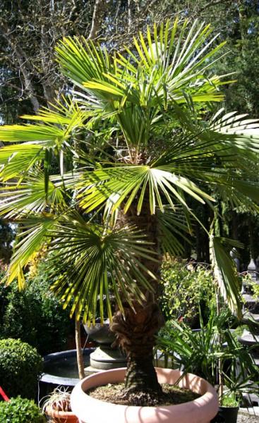 trachycarpus fortunei, hanfpalme | palmen & bananen | garten, Gartenarbeit ideen