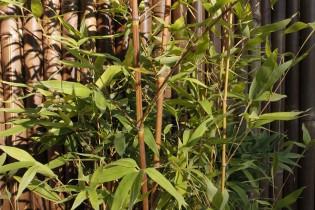 Orangerohr Bambus - Phyllostachys aurea holochrysa