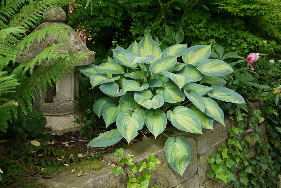 banner-schattenpflanzen-hosta-sieboldiana-frances-williams